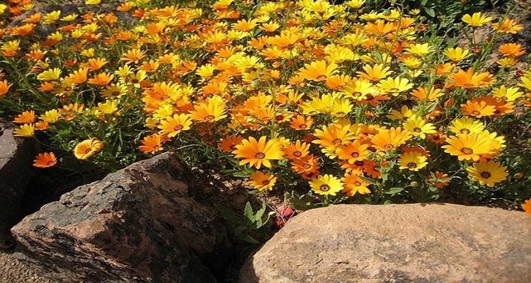 خواص گیاه دارویی گل همیشه بهار