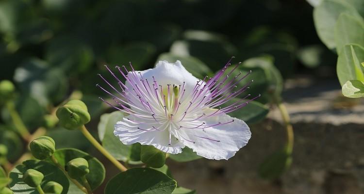 گیاه کبر (کاپاریس)، رفع کننده سودای اضافی بدن