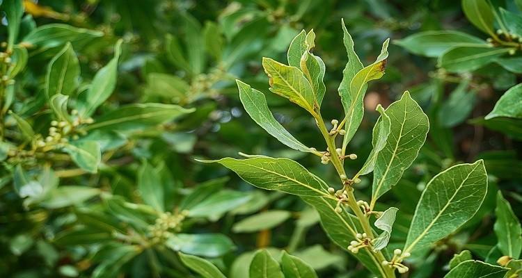 استفاده از گیاه دارویی برگ بو جهت رفع خستگی و کوفتگی