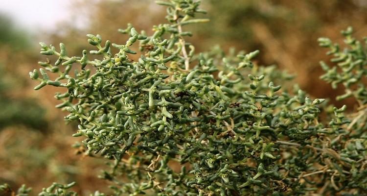 آشنایی با خواص درمانی گیاه دارویی اشنان