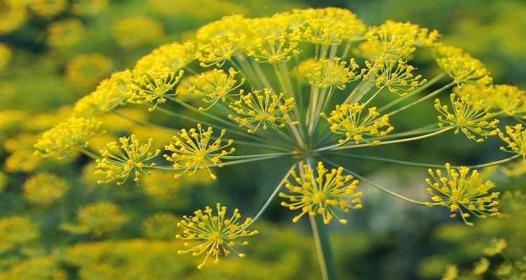 اشنایی با خواص درمانی گیاه دارویی اشق