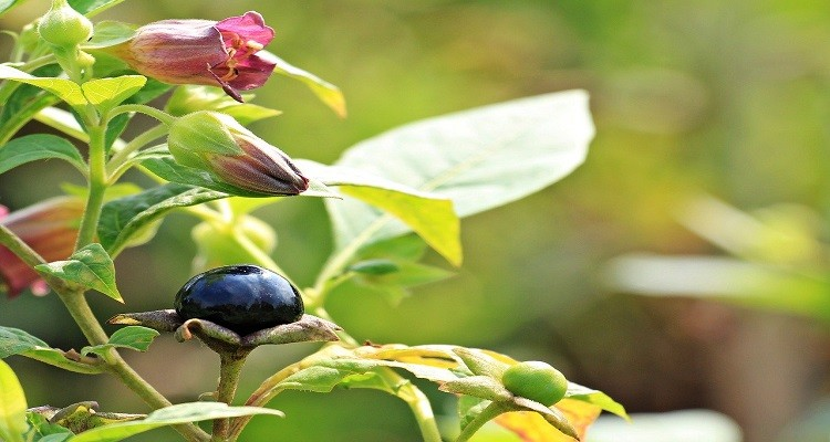 با خواص گیاه دارویی بلادون آشنا شوید