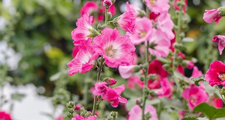 گیاه دارویی گل ختمی با خواصی اعجاب انگیز