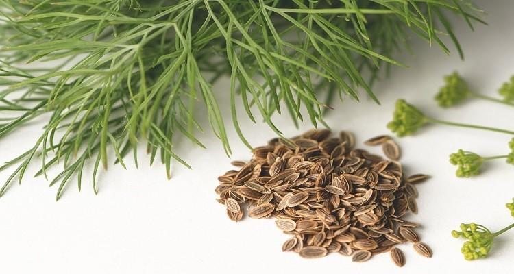 گیاه دارویی شوید و خواص فوق العاده آن