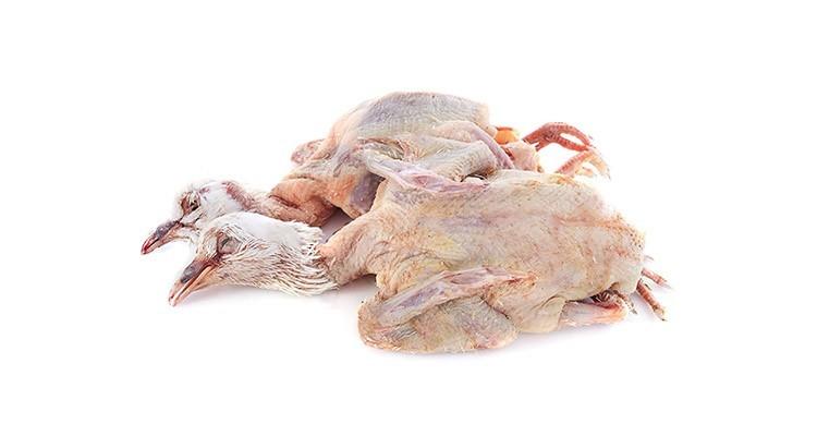 خواص و مزاج گوشت کبوتر در طب سنتی