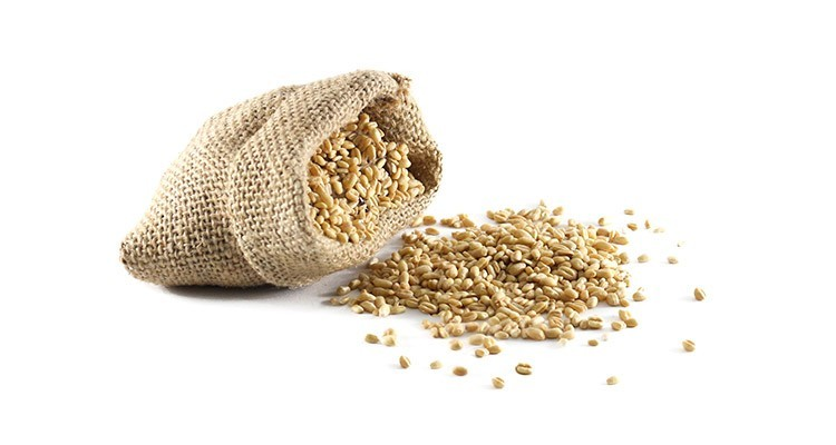 خواص و مزاج گندم در طی سنتی