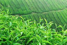 خواص چای در طب سنتی