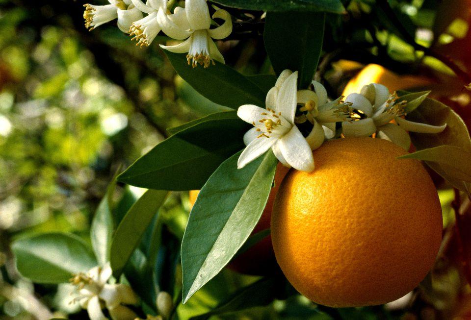 خواص گیاه دارویی بهارنارنج با بویی خوش