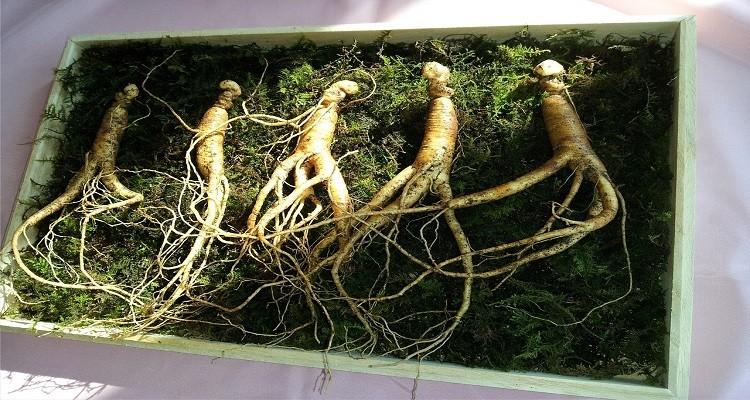 با جینسینگ؛ گیاه جوانی آشنا شوید