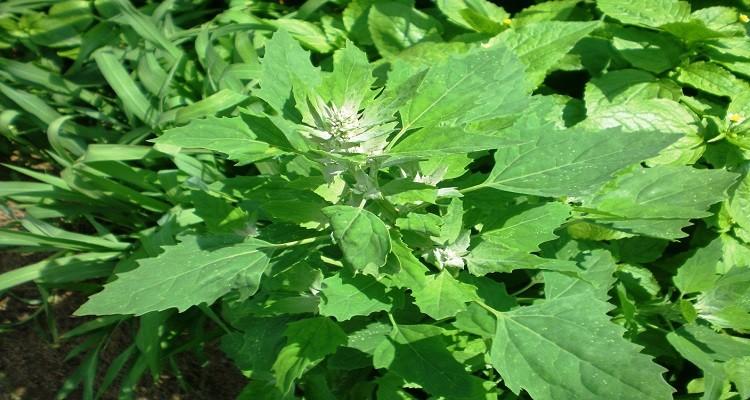 خواص گیاه دارویی سلمک