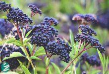 آشنایی با گیاه آقطی سیاه