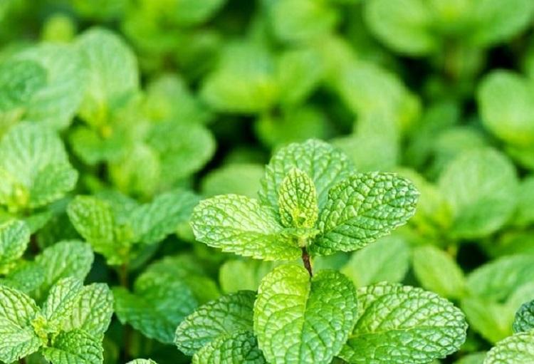 آیا گیاهان و ادویههای دارویی بیخطر و بدون عارضه هستند؟