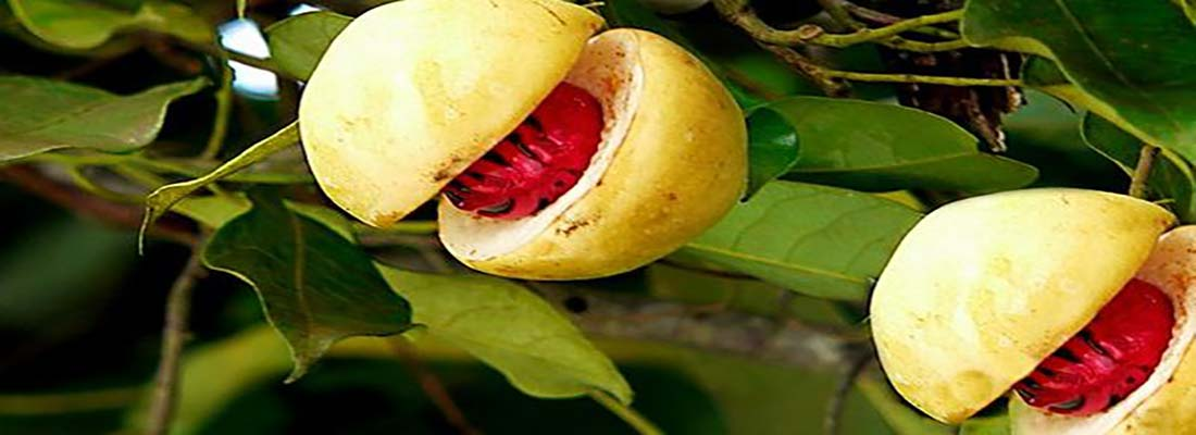 مشخصات ظاهری گیاه جوزبوا