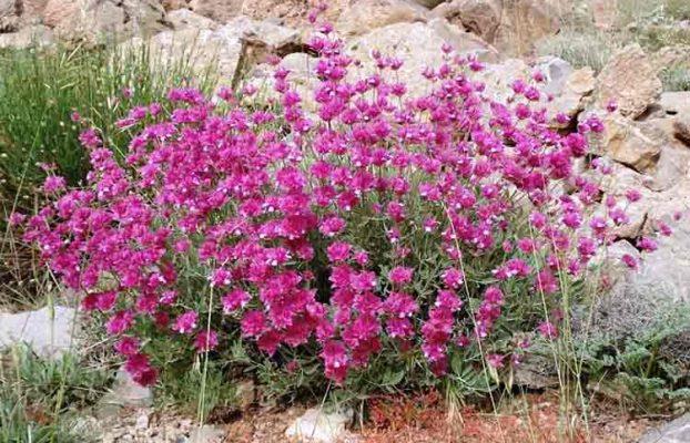 از خواص تا مزاج گل ارونه یا اروانه